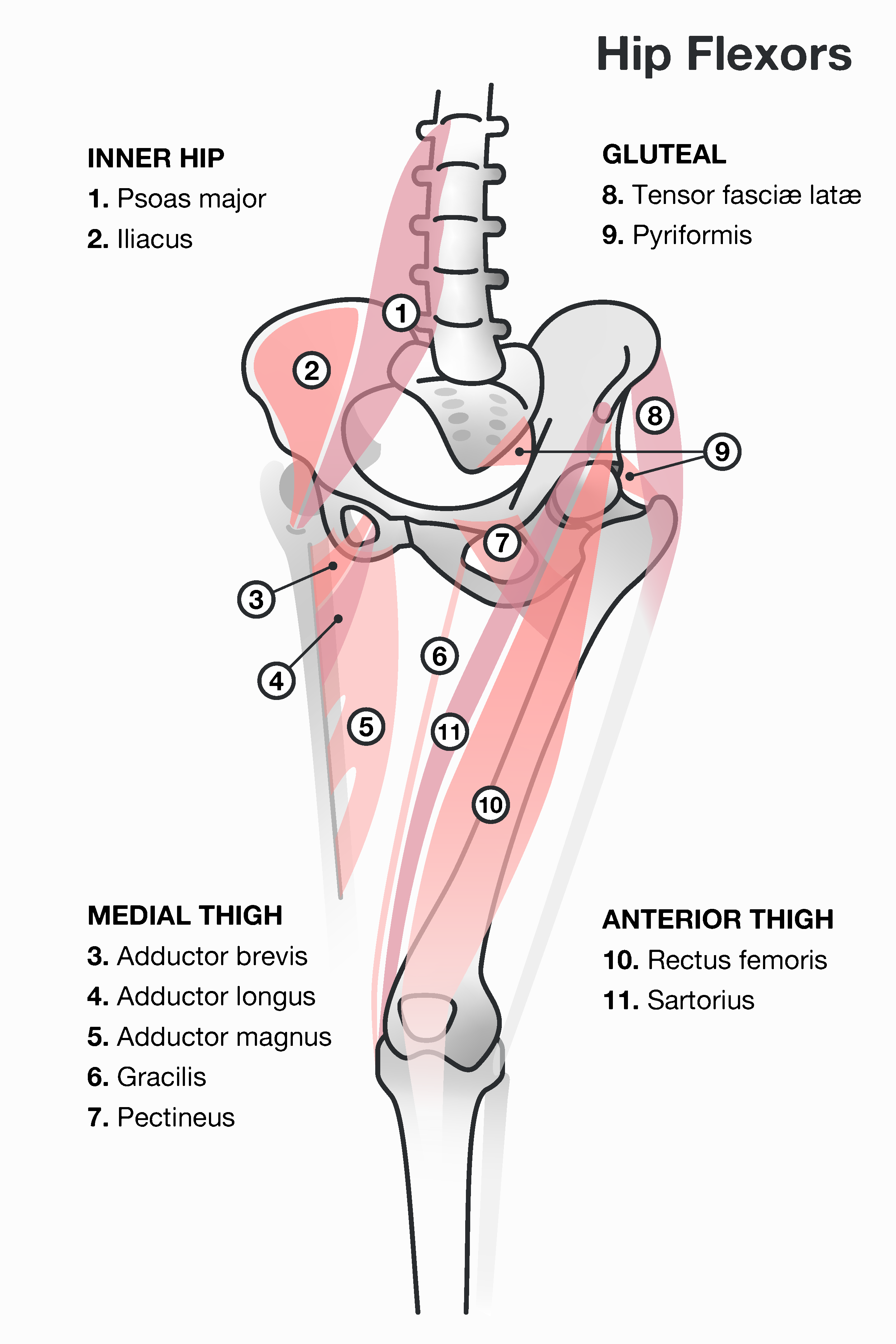 Anatomy Illustrations for the 8fit app