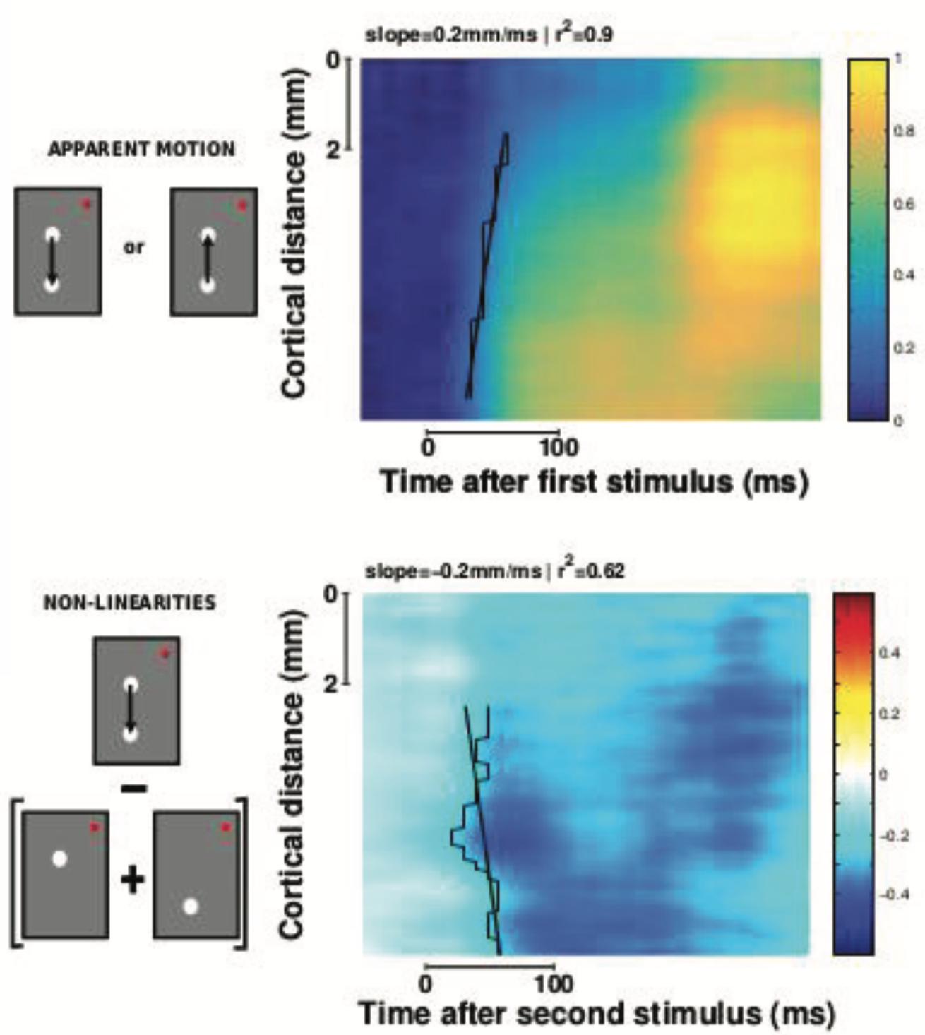 Figure 9: Vagues corticales Des vagues de propagation détectées sur la surface du cortex semblent avoir un rôle fonctionnel pour représenter des informations visuelles.