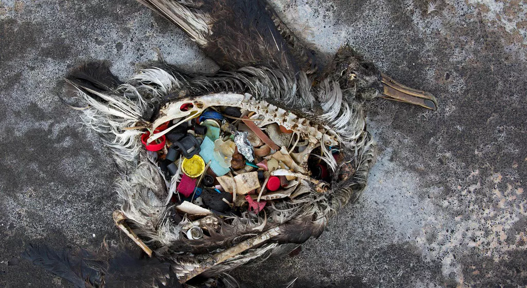 Photograph by Chris Jordon of dead seabird decomposed body showing stomach is full of small pieces of plastic