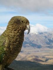 Kea the mountain parrot