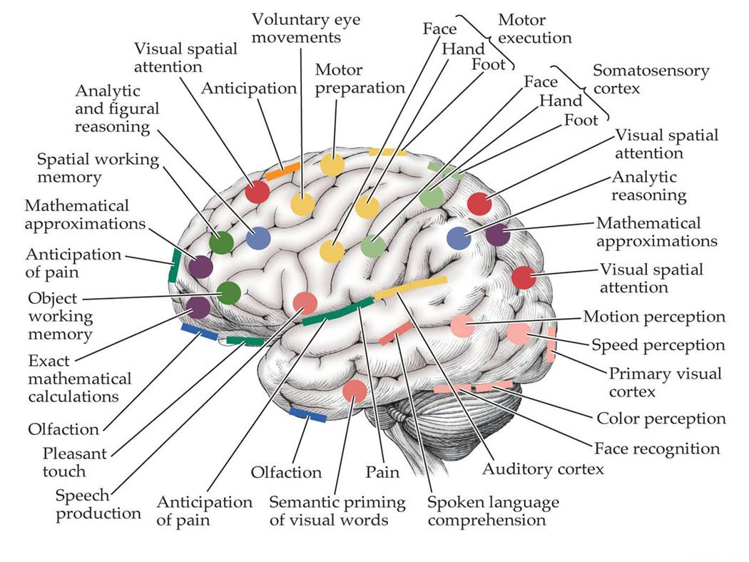 Parts of The Human Brain (Psychology)