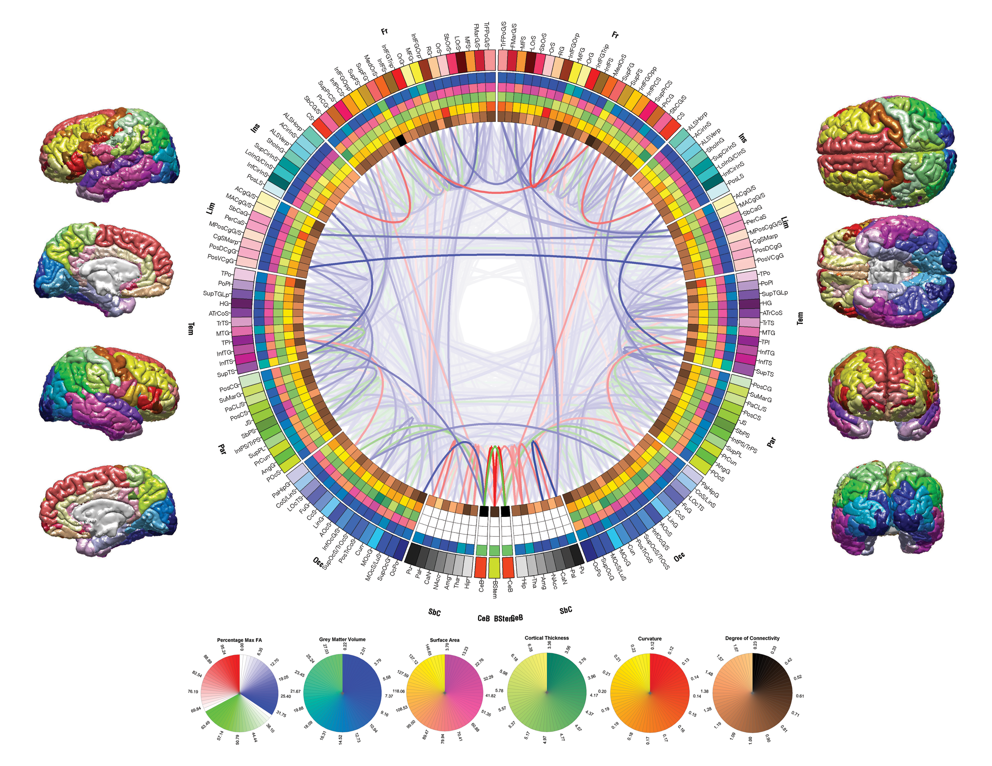 Mapping Morphometry and Connectedness of the Human Brain