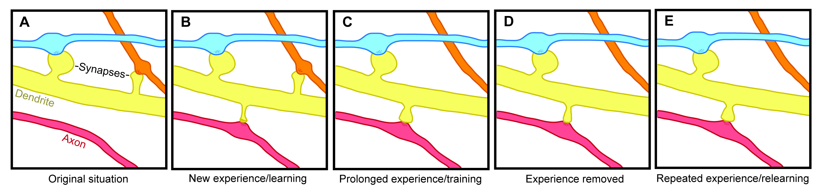 Experience-dependent spine formation and elimination.