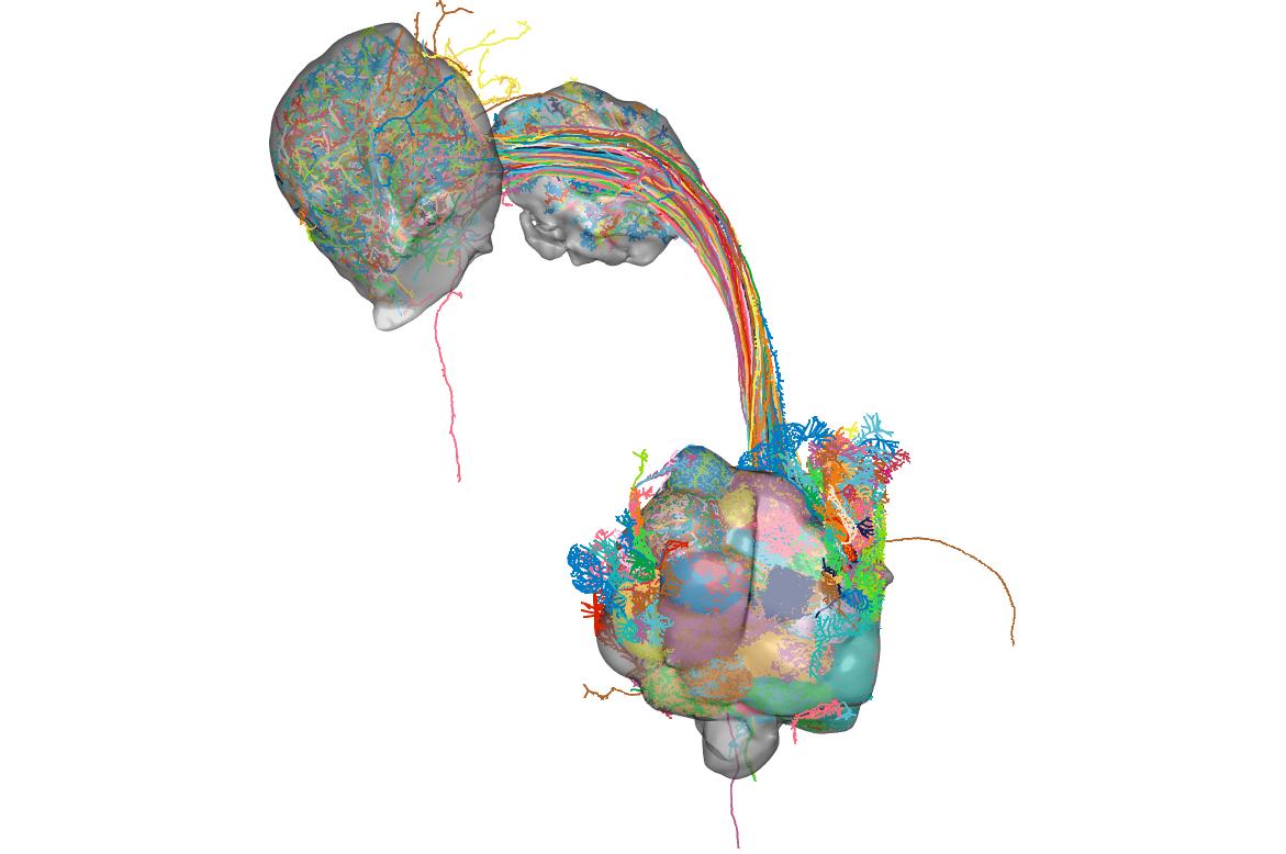 hemibrain_opns_neuropils