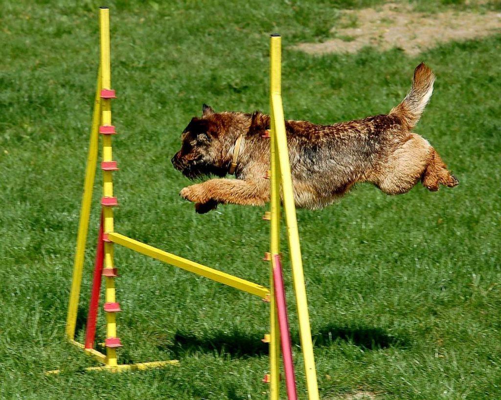 Perro saltando un obstáculo