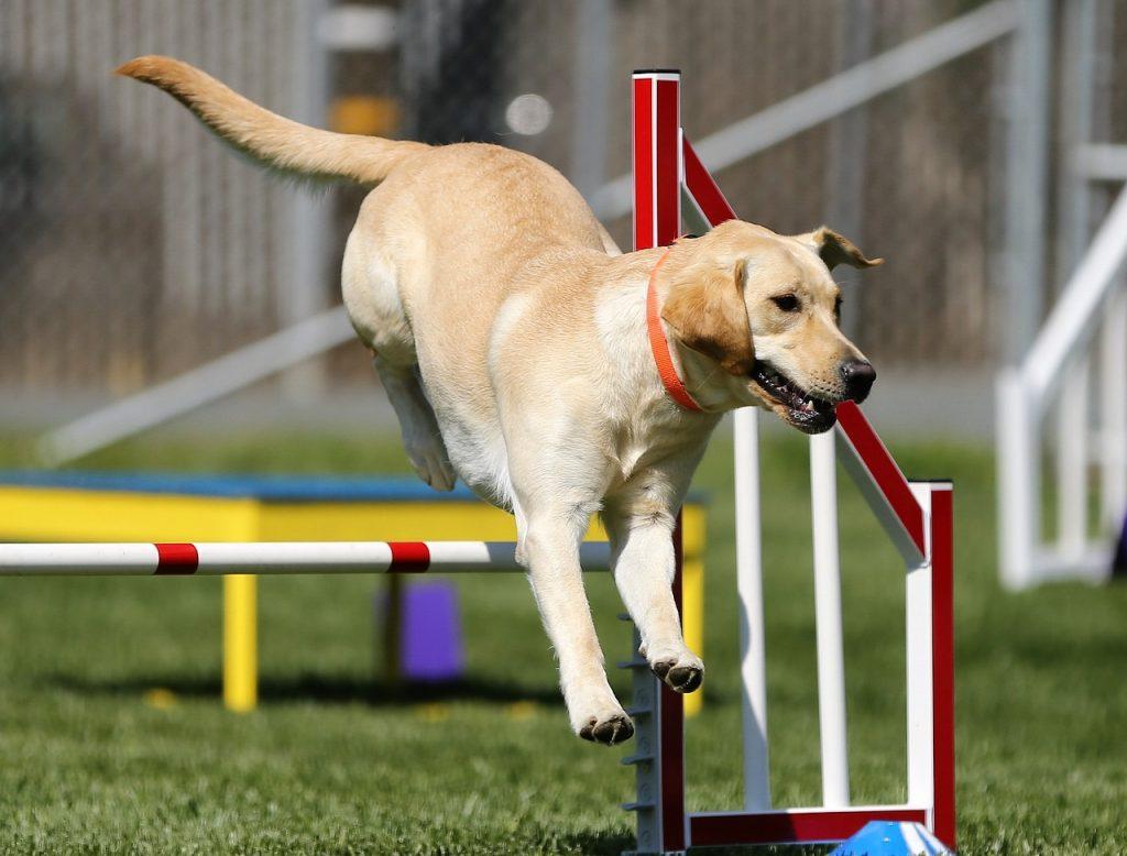 Perro de raz golden saltando un obstáculo