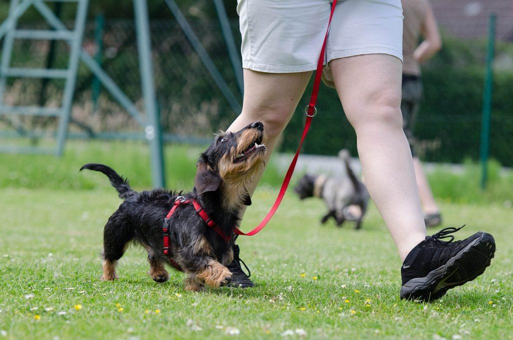 Perro pequeño mestizo paseando con su dueño.