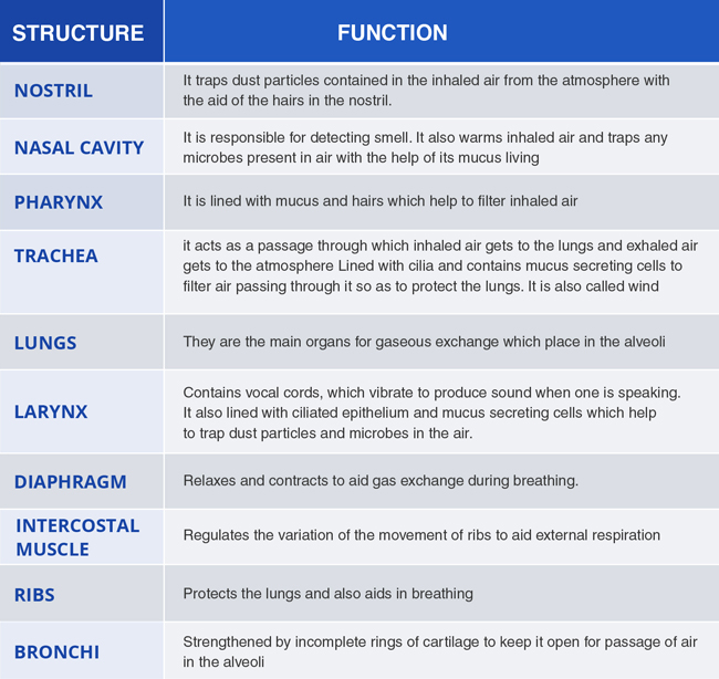 the respiratory system and its functions Respiratory system webquest and the importance of its vital function in explain the structure and functions of the respiratory system as well as label a.