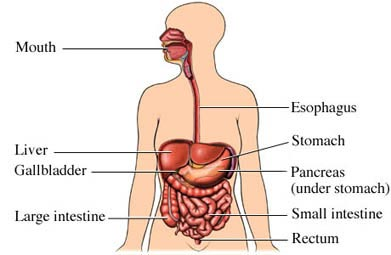 diagram of the digestive system · digestive system of humans, Human Body