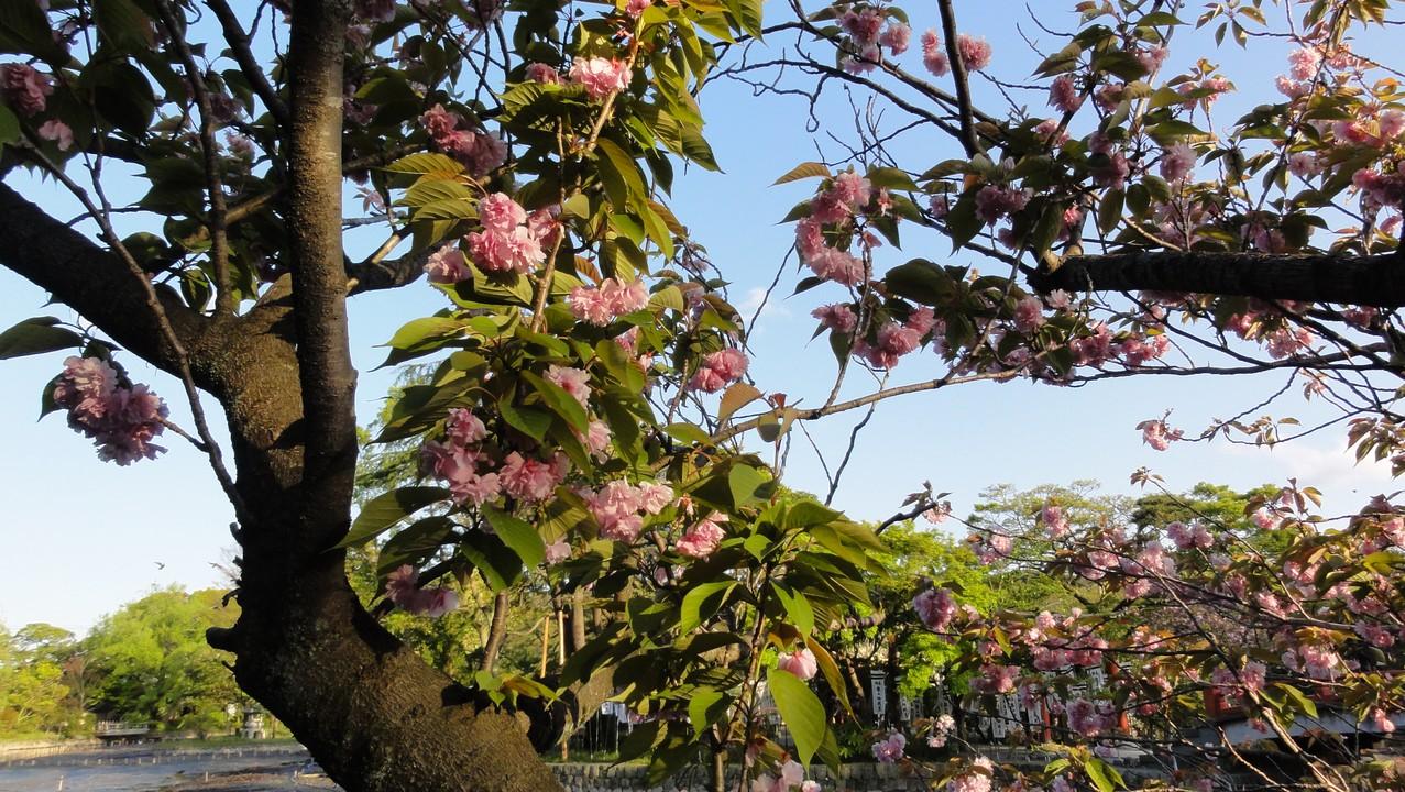 鶴岡八幡宮櫻花