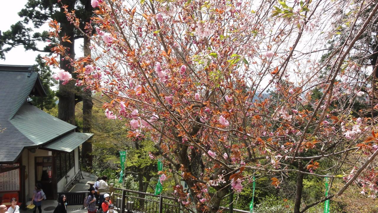 高尾山櫻花