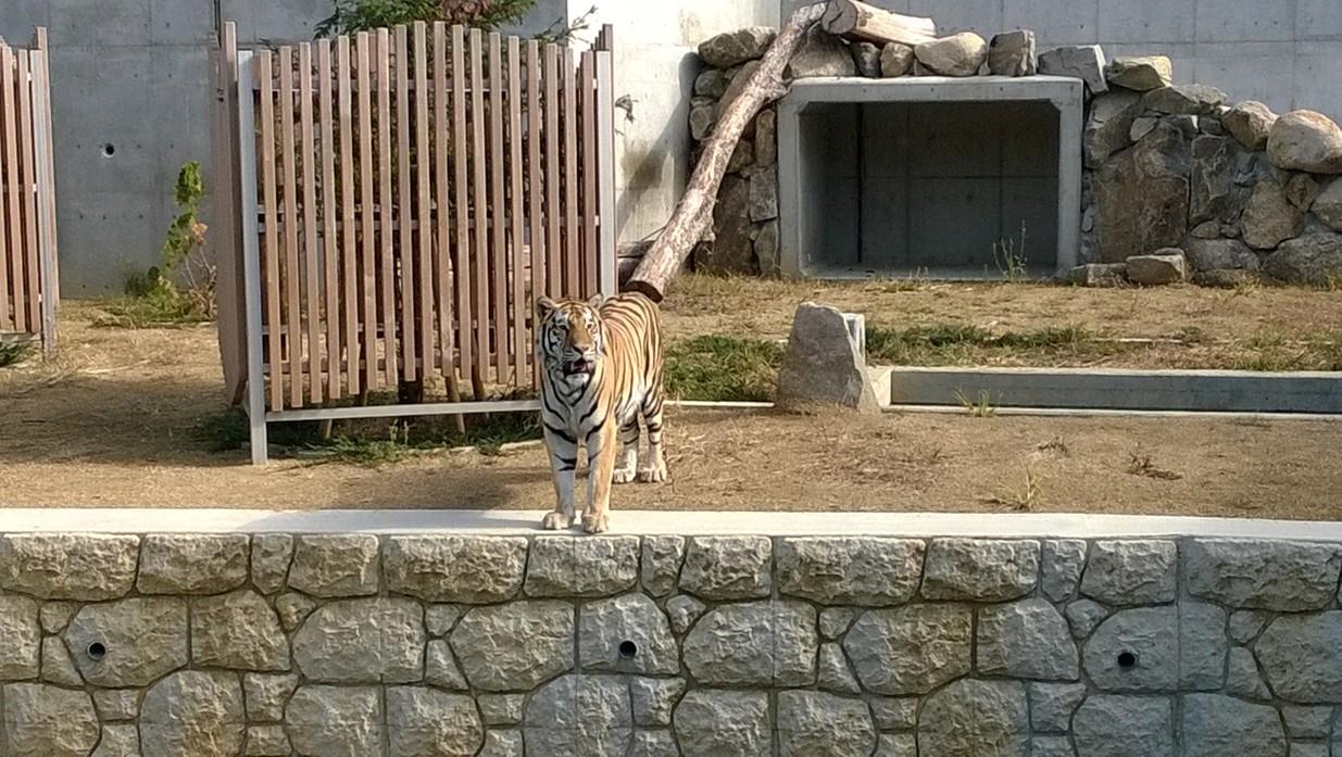 天王寺動物園老虎