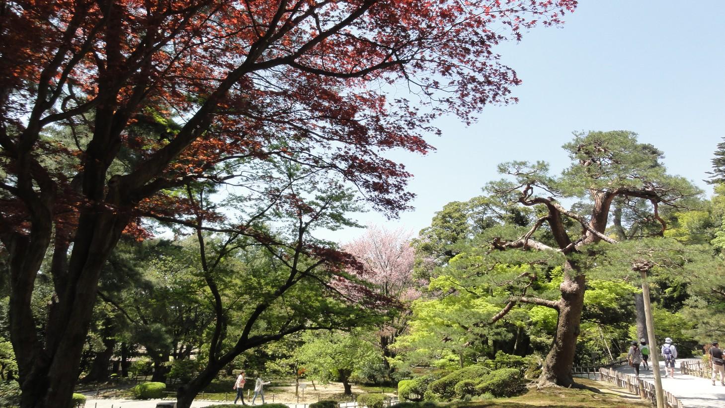 兼六園紅楓與櫻花