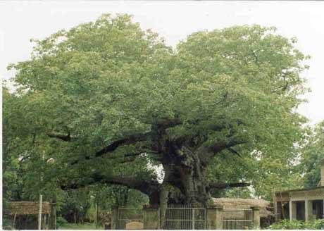 3. Parijaat tree, Kintoor