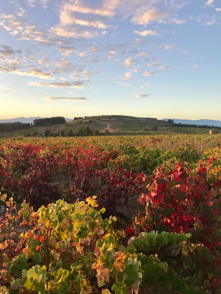 Vineyards with autumnal leaves in the morning