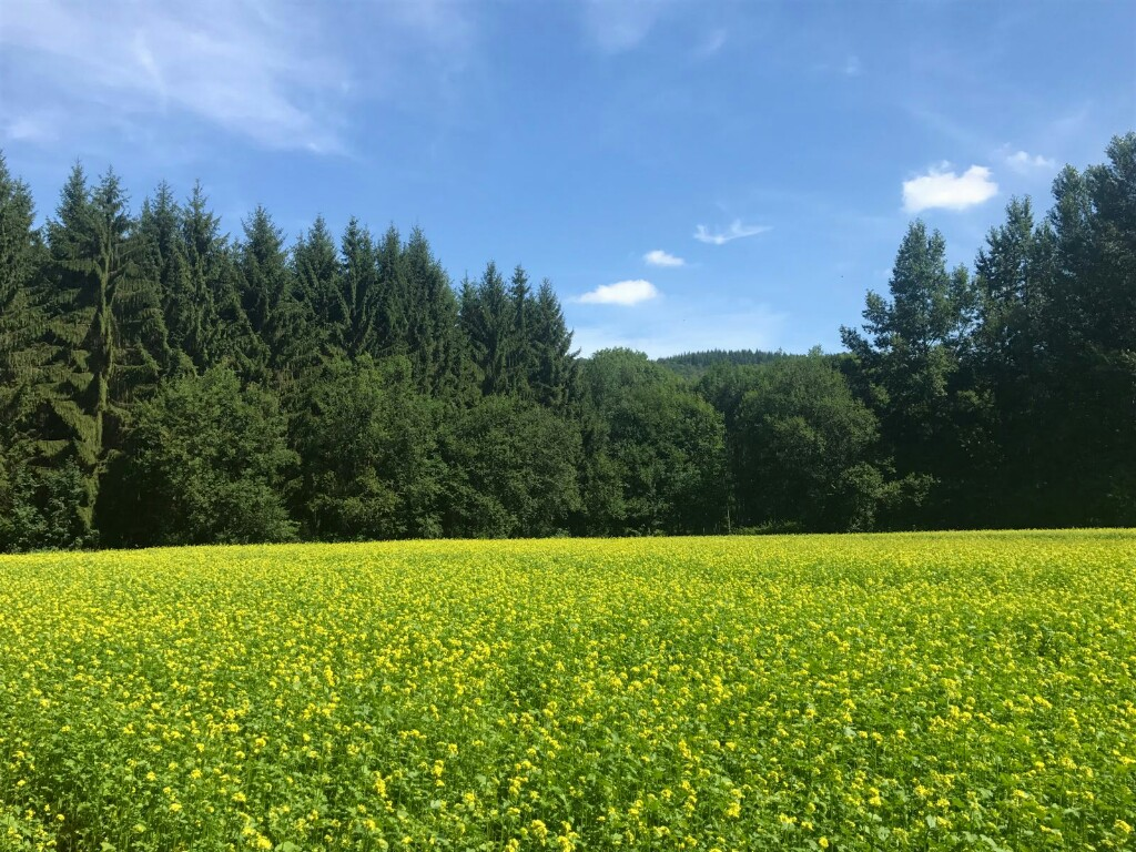 Blue sky, green trees and yellow field.