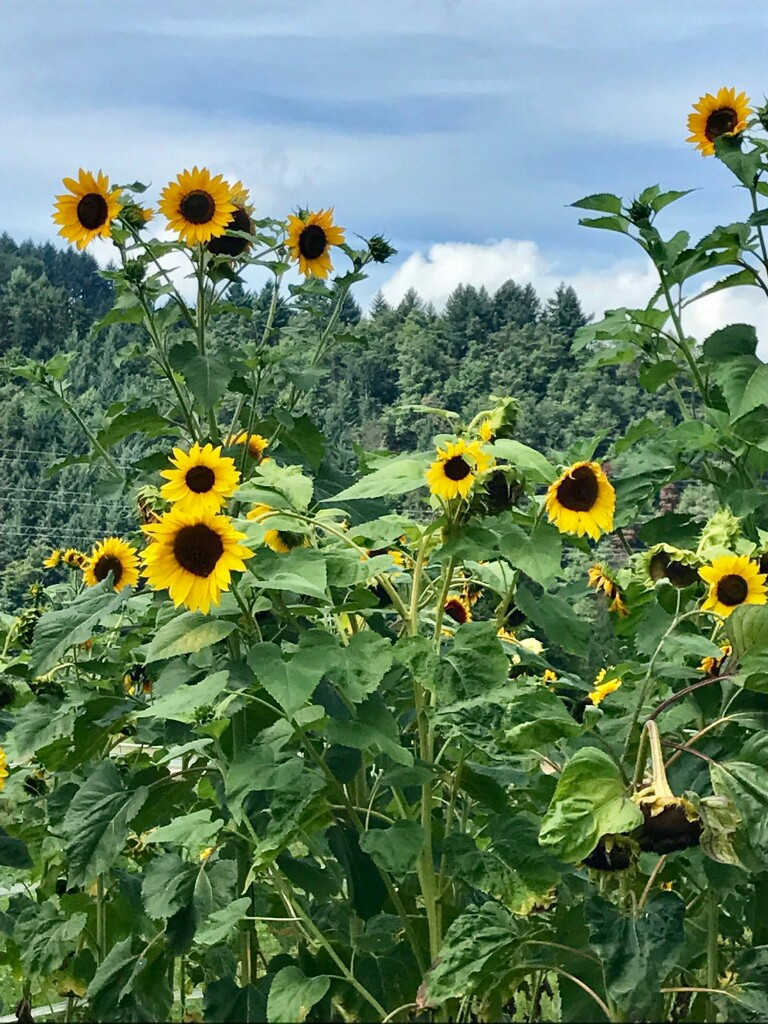 sunflowers with black forest hills in the background