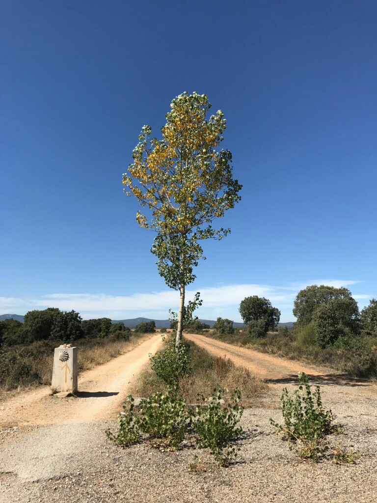 Tree sitting in the middle of a Camino path split into two