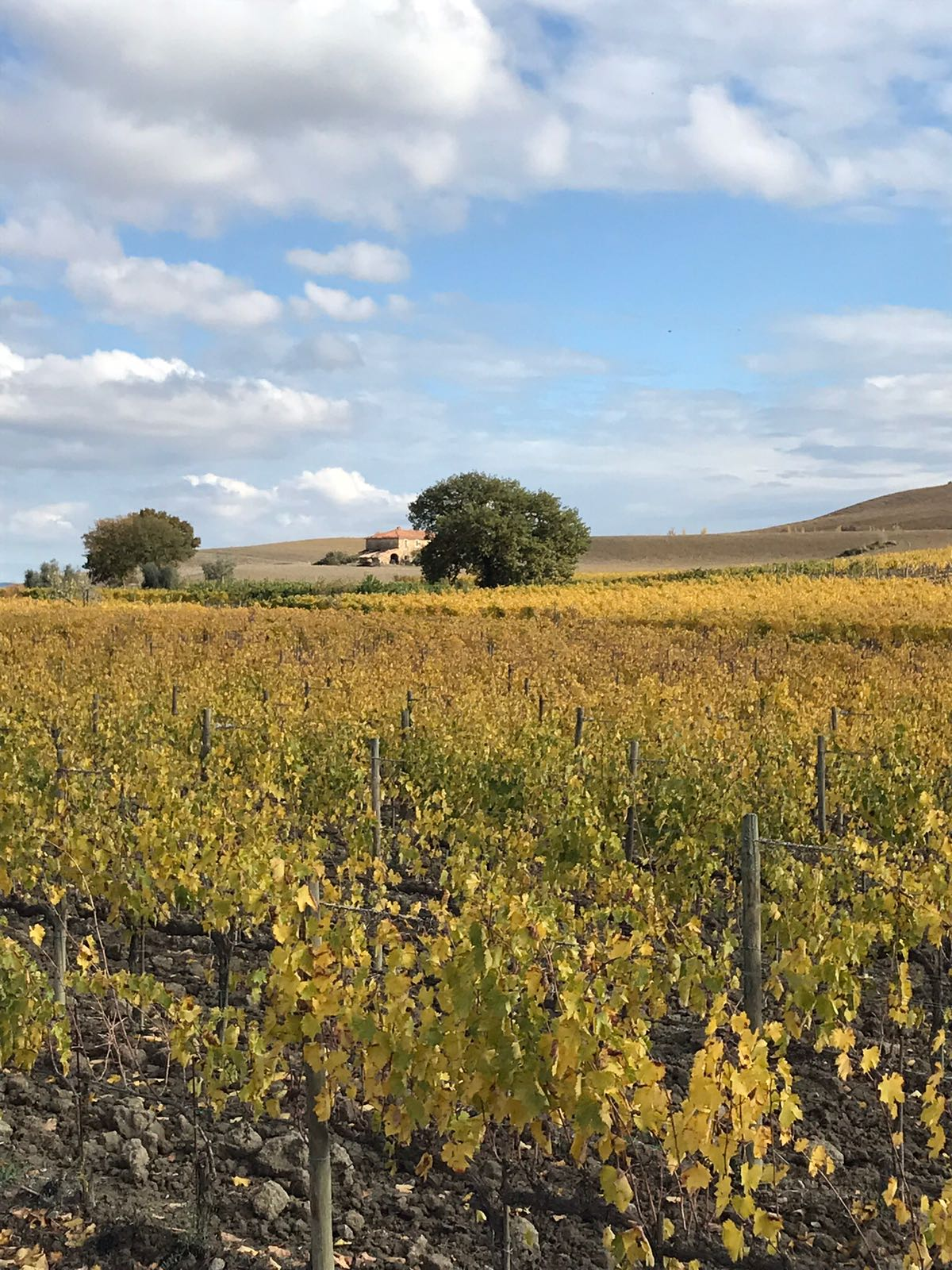 Vineyard in the early bit of autumn when all the leaves are still on but yellow