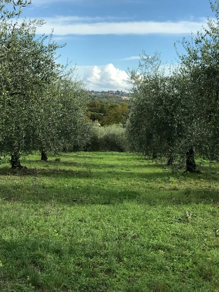 A field of olive trees all in neat rows