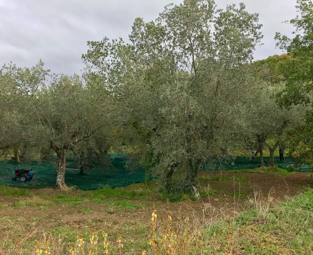 Sheets of material covering the ground below the olive trees