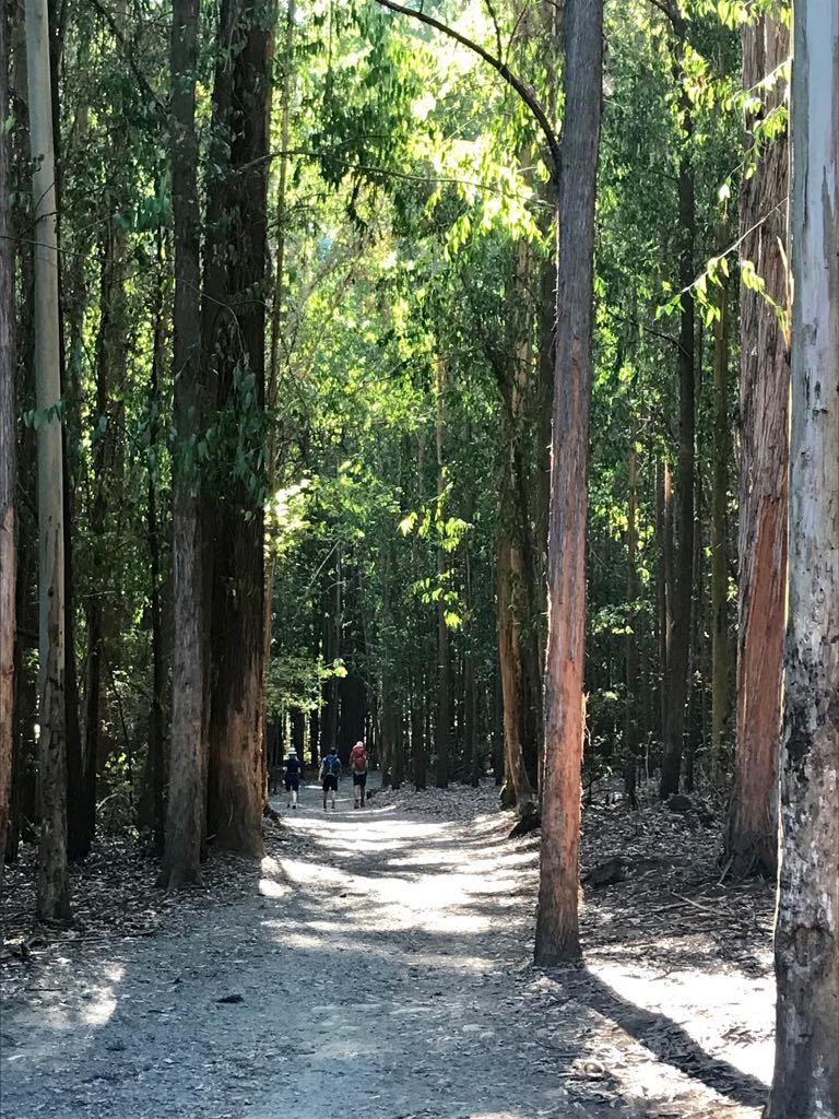 The path through the forest of eucalyptus and oak trees