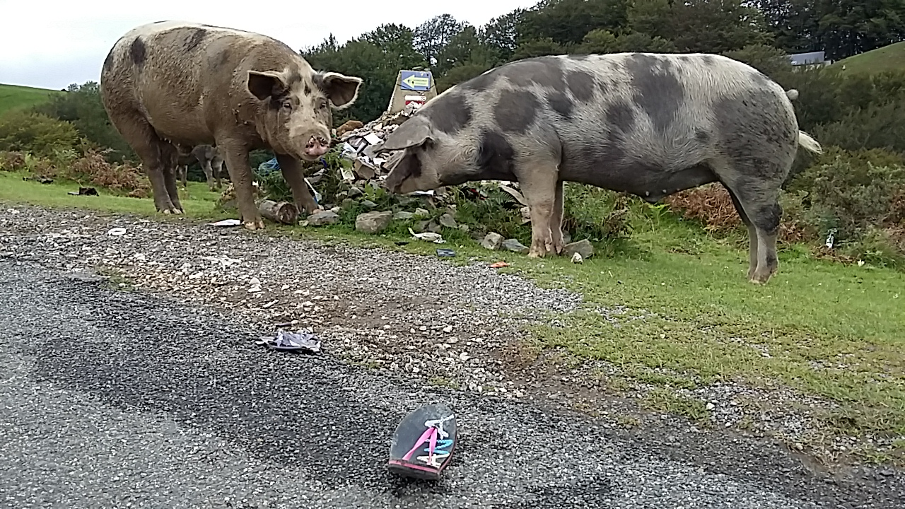 Pigs eating rubbish left by walkers