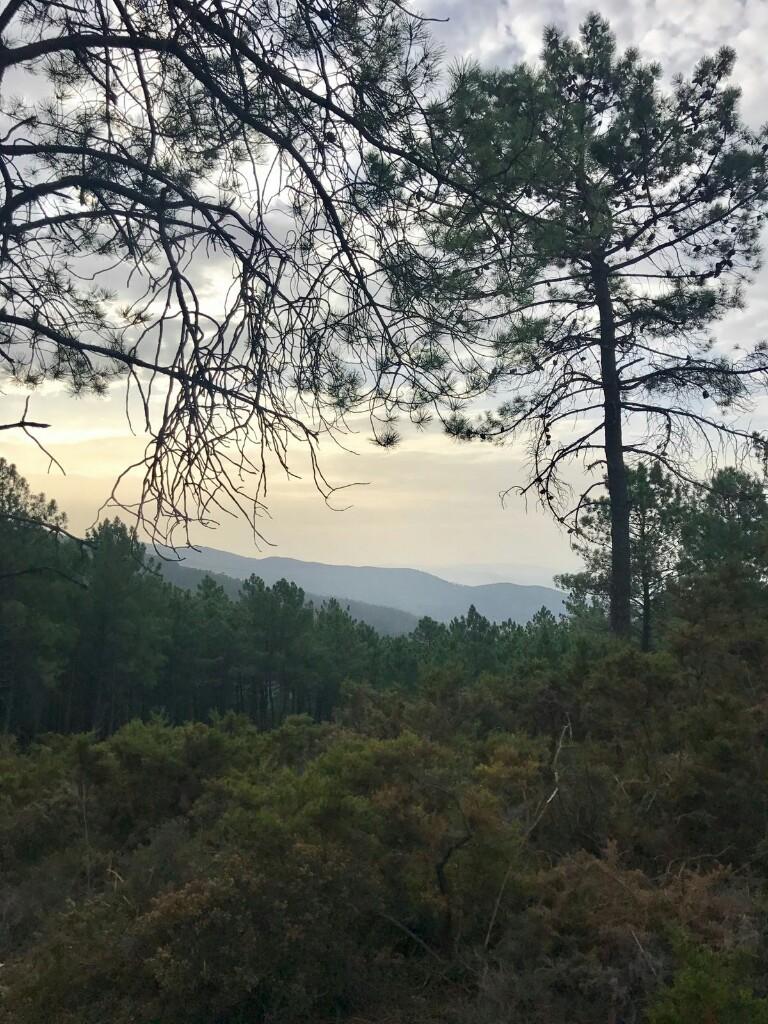 Pine forest near Rubiaes