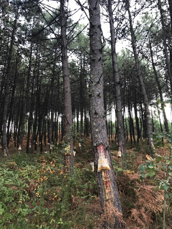 Pine trees with a section of bark removed and cuts made to it with a bag attached just below to capture the sap from them