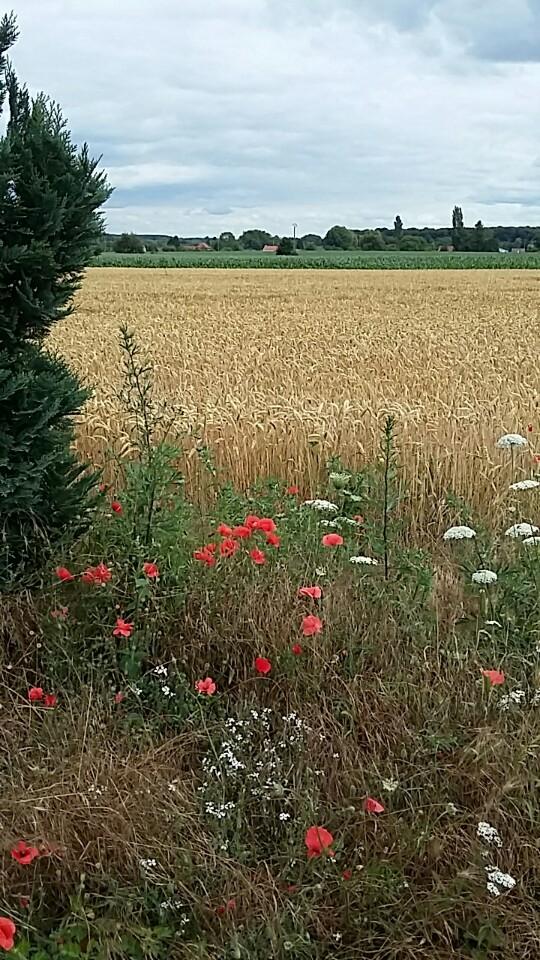 Poppies in a hayfield in scarpe escaut