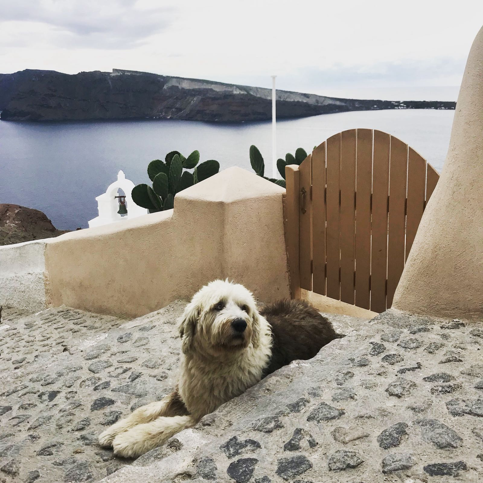 Friendly old english sheepdog sitting on the steps of a path in Santorini