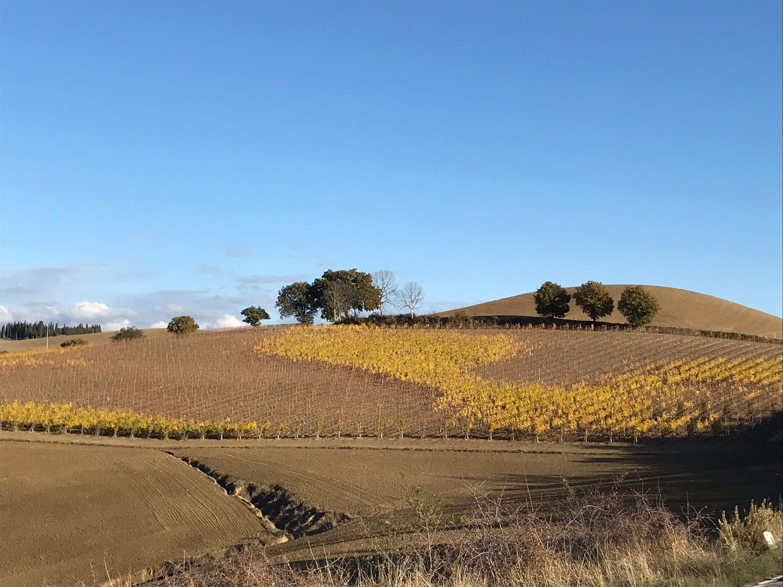 Vineyard in autumn with the leaves fallen off in places leaving large areas of yellow colour