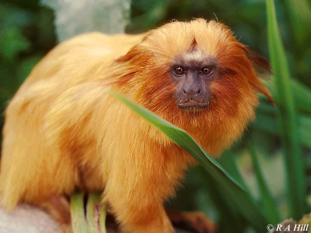 Are you lying, golden lion tamarin?