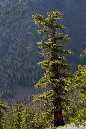 Photo of Douglas-fir