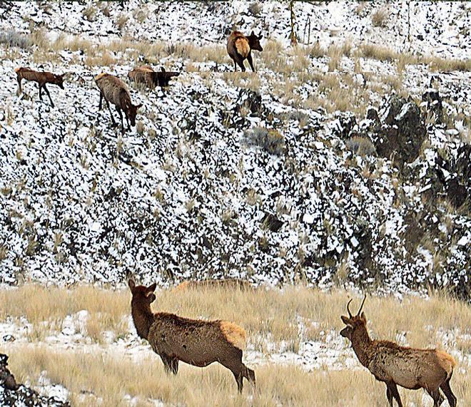Photo of Rocky Mountain Elk