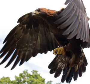 Photo of Golden Eagle