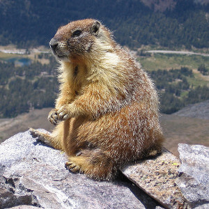 Photo of Yellow-bellied Marmot