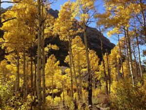 Photo of Quaking Aspen