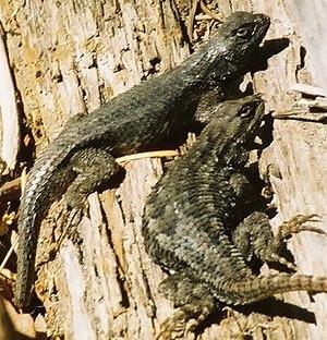 Photo of Western Fence Lizard
