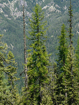 Photo of Western Larch