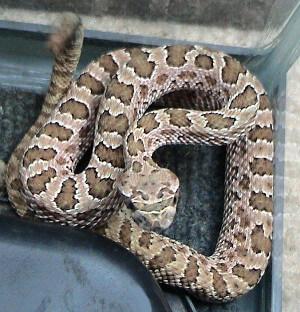 Photo of Western Rattlesnake