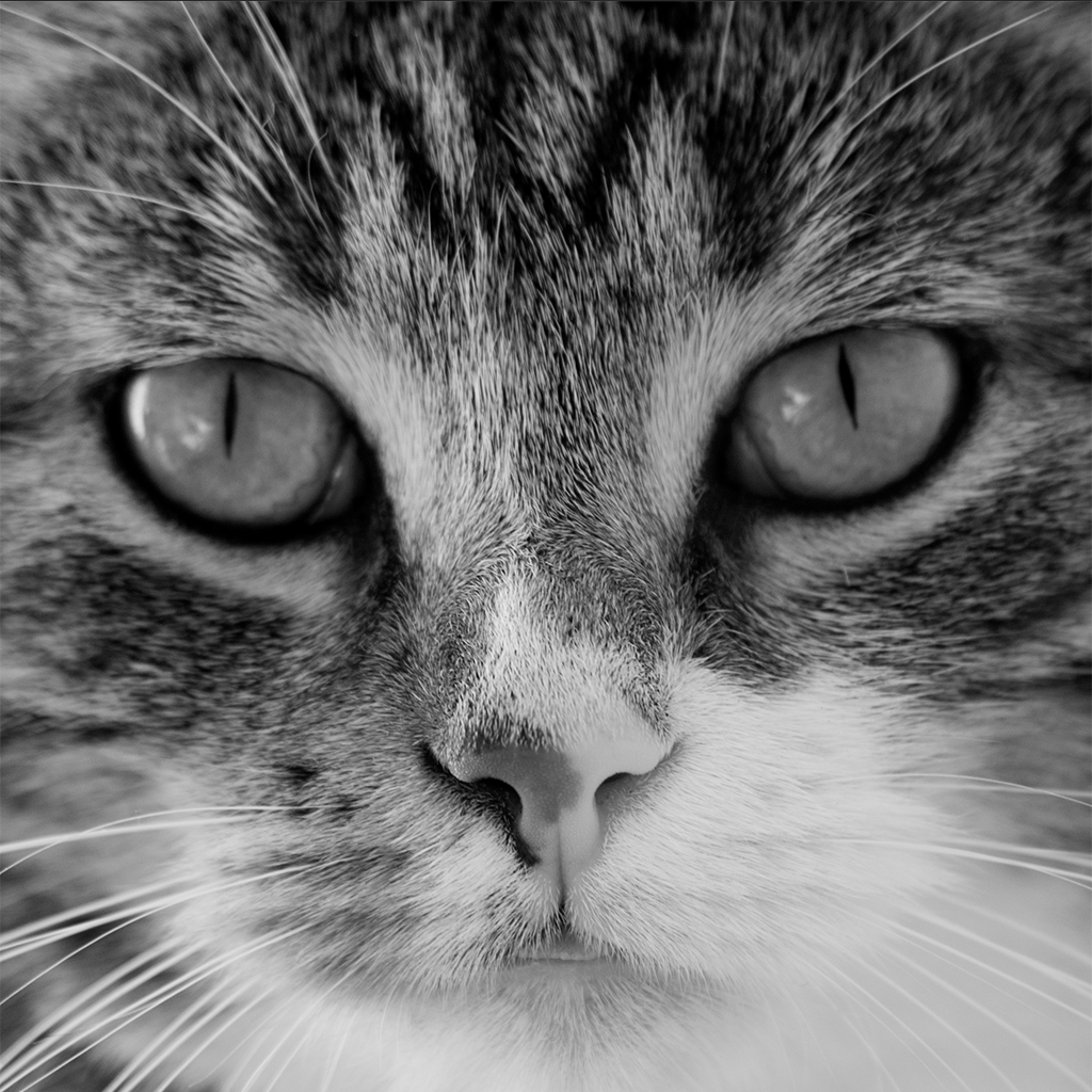 cat grayscaled